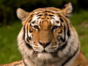 Tigersnack