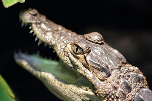 Krokodile vergiessen echte Tränen