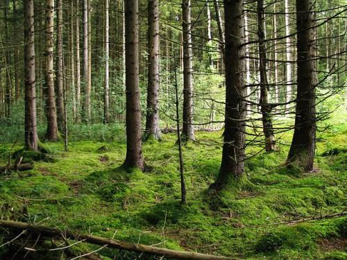 Rowdy im Fichtenwald