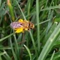 Andrena humilis © P. Schuetz