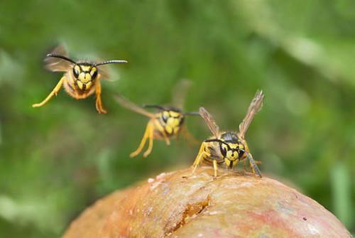 Wenn Wespen fliegen