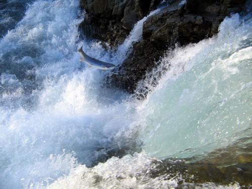 springender Lachs © J. Charaoui (FAL via Wikimedia Commons)